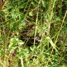 Picture of a fledgling hiding in the grass.